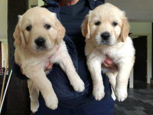 Twee Golden Retriever pups